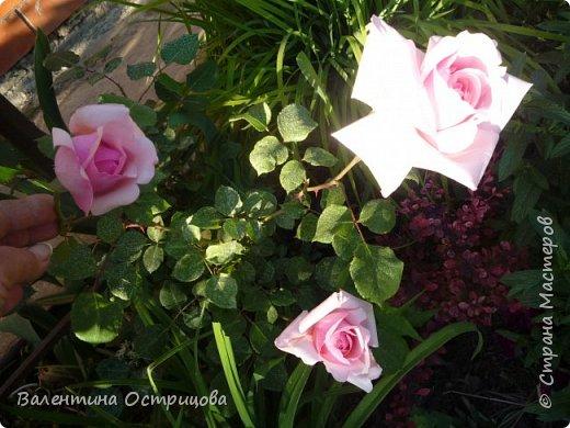 Приветствую  Вас , дорогие  гости  моей  странички,  дорогие  мои  подружки !   Что  дало  нам  это  лето ?  Конечно  же  ароматы  летних  цветов  и  любование  ими !    Я  с  удовольствием  делюсь  с  Вами  ! фото 12