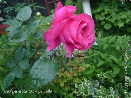 Приветствую  Вас , дорогие  гости  моей  странички,  дорогие  мои  подружки !   Что  дало  нам  это  лето ?  Конечно  же  ароматы  летних  цветов  и  любование  ими !    Я  с  удовольствием  делюсь  с  Вами  ! фото 20