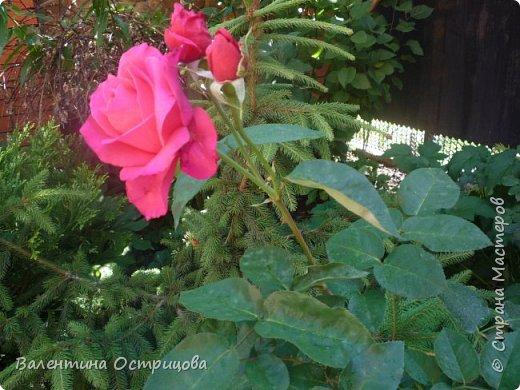 Приветствую  Вас , дорогие  гости  моей  странички,  дорогие  мои  подружки !   Что  дало  нам  это  лето ?  Конечно  же  ароматы  летних  цветов  и  любование  ими !    Я  с  удовольствием  делюсь  с  Вами  ! фото 17