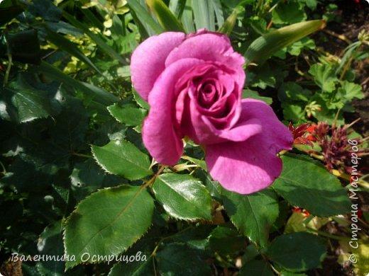 Приветствую  Вас , дорогие  гости  моей  странички,  дорогие  мои  подружки !   Что  дало  нам  это  лето ?  Конечно  же  ароматы  летних  цветов  и  любование  ими !    Я  с  удовольствием  делюсь  с  Вами  ! фото 19