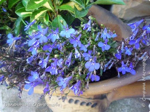 Приветствую  Вас , дорогие  гости  моей  странички,  дорогие  мои  подружки !   Что  дало  нам  это  лето ?  Конечно  же  ароматы  летних  цветов  и  любование  ими !    Я  с  удовольствием  делюсь  с  Вами  ! фото 44