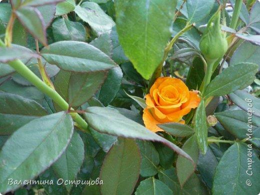 Приветствую  Вас , дорогие  гости  моей  странички,  дорогие  мои  подружки !   Что  дало  нам  это  лето ?  Конечно  же  ароматы  летних  цветов  и  любование  ими !    Я  с  удовольствием  делюсь  с  Вами  ! фото 14