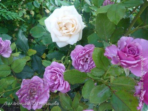 Приветствую  Вас , дорогие  гости  моей  странички,  дорогие  мои  подружки !   Что  дало  нам  это  лето ?  Конечно  же  ароматы  летних  цветов  и  любование  ими !    Я  с  удовольствием  делюсь  с  Вами  ! фото 29