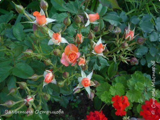 Приветствую  Вас , дорогие  гости  моей  странички,  дорогие  мои  подружки !   Что  дало  нам  это  лето ?  Конечно  же  ароматы  летних  цветов  и  любование  ими !    Я  с  удовольствием  делюсь  с  Вами  ! фото 31