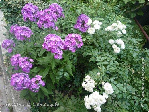 Приветствую  Вас , дорогие  гости  моей  странички,  дорогие  мои  подружки !   Что  дало  нам  это  лето ?  Конечно  же  ароматы  летних  цветов  и  любование  ими !    Я  с  удовольствием  делюсь  с  Вами  ! фото 43