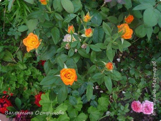 Приветствую  Вас , дорогие  гости  моей  странички,  дорогие  мои  подружки !   Что  дало  нам  это  лето ?  Конечно  же  ароматы  летних  цветов  и  любование  ими !    Я  с  удовольствием  делюсь  с  Вами  ! фото 32