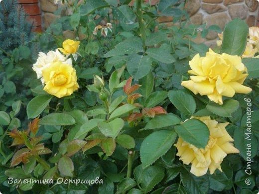 Приветствую  Вас , дорогие  гости  моей  странички,  дорогие  мои  подружки !   Что  дало  нам  это  лето ?  Конечно  же  ароматы  летних  цветов  и  любование  ими !    Я  с  удовольствием  делюсь  с  Вами  ! фото 33