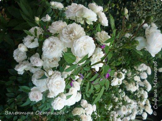 Приветствую  Вас , дорогие  гости  моей  странички,  дорогие  мои  подружки !   Что  дало  нам  это  лето ?  Конечно  же  ароматы  летних  цветов  и  любование  ими !    Я  с  удовольствием  делюсь  с  Вами  ! фото 39
