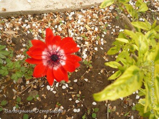 Приветствую  Вас , дорогие  гости  моей  странички,  дорогие  мои  подружки !   Что  дало  нам  это  лето ?  Конечно  же  ароматы  летних  цветов  и  любование  ими !    Я  с  удовольствием  делюсь  с  Вами  ! фото 8