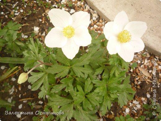 Приветствую  Вас , дорогие  гости  моей  странички,  дорогие  мои  подружки !   Что  дало  нам  это  лето ?  Конечно  же  ароматы  летних  цветов  и  любование  ими !    Я  с  удовольствием  делюсь  с  Вами  ! фото 9