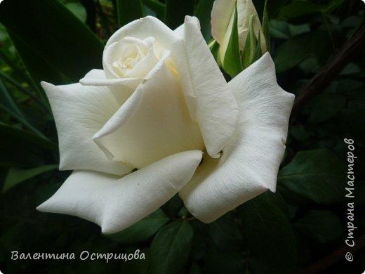 Приветствую  Вас , дорогие  гости  моей  странички,  дорогие  мои  подружки !   Что  дало  нам  это  лето ?  Конечно  же  ароматы  летних  цветов  и  любование  ими !    Я  с  удовольствием  делюсь  с  Вами  ! фото 24