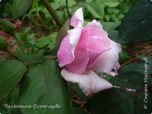 Приветствую  Вас , дорогие  гости  моей  странички,  дорогие  мои  подружки !   Что  дало  нам  это  лето ?  Конечно  же  ароматы  летних  цветов  и  любование  ими !    Я  с  удовольствием  делюсь  с  Вами  ! фото 25