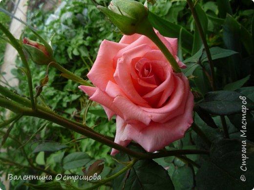 Приветствую  Вас , дорогие  гости  моей  странички,  дорогие  мои  подружки !   Что  дало  нам  это  лето ?  Конечно  же  ароматы  летних  цветов  и  любование  ими !    Я  с  удовольствием  делюсь  с  Вами  ! фото 26