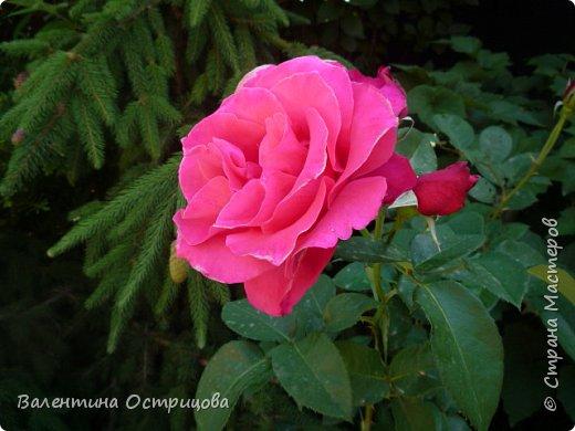 Приветствую  Вас , дорогие  гости  моей  странички,  дорогие  мои  подружки !   Что  дало  нам  это  лето ?  Конечно  же  ароматы  летних  цветов  и  любование  ими !    Я  с  удовольствием  делюсь  с  Вами  ! фото 27
