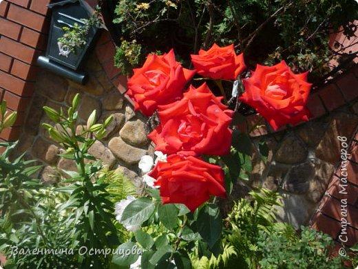 Приветствую  Вас , дорогие  гости  моей  странички,  дорогие  мои  подружки !   Что  дало  нам  это  лето ?  Конечно  же  ароматы  летних  цветов  и  любование  ими !    Я  с  удовольствием  делюсь  с  Вами  ! фото 13