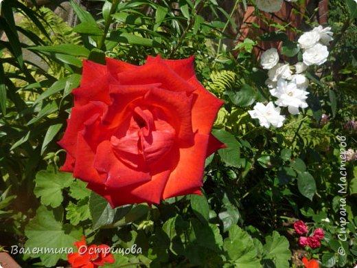 Приветствую  Вас , дорогие  гости  моей  странички,  дорогие  мои  подружки !   Что  дало  нам  это  лето ?  Конечно  же  ароматы  летних  цветов  и  любование  ими !    Я  с  удовольствием  делюсь  с  Вами  ! фото 28