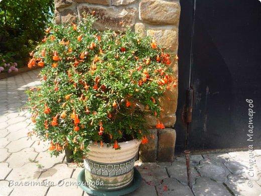 Приветствую  Вас , дорогие  гости  моей  странички,  дорогие  мои  подружки !   Что  дало  нам  это  лето ?  Конечно  же  ароматы  летних  цветов  и  любование  ими !    Я  с  удовольствием  делюсь  с  Вами  ! фото 5