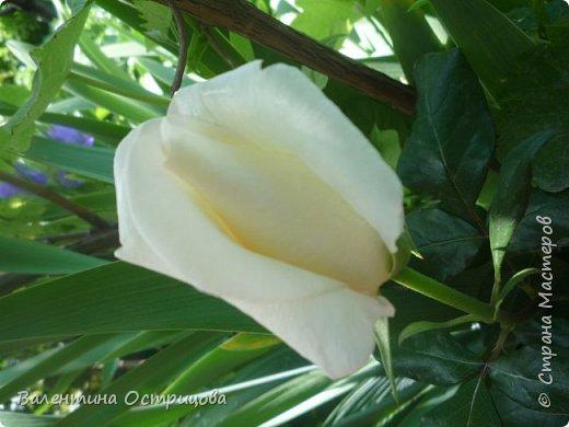 Приветствую  Вас , дорогие  гости  моей  странички,  дорогие  мои  подружки !   Что  дало  нам  это  лето ?  Конечно  же  ароматы  летних  цветов  и  любование  ими !    Я  с  удовольствием  делюсь  с  Вами  ! фото 22