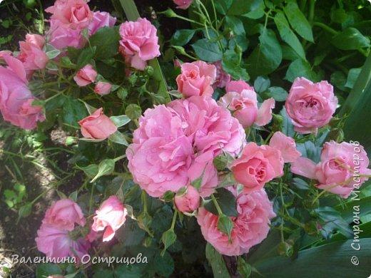 Приветствую  Вас , дорогие  гости  моей  странички,  дорогие  мои  подружки !   Что  дало  нам  это  лето ?  Конечно  же  ароматы  летних  цветов  и  любование  ими !    Я  с  удовольствием  делюсь  с  Вами  ! фото 18