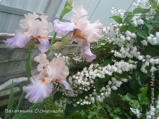Приветствую  Вас , дорогие  гости  моей  странички,  дорогие  мои  подружки !   Что  дало  нам  это  лето ?  Конечно  же  ароматы  летних  цветов  и  любование  ими !    Я  с  удовольствием  делюсь  с  Вами  ! фото 2