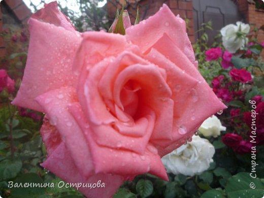 Приветствую  Вас , дорогие  гости  моей  странички,  дорогие  мои  подружки !   Что  дало  нам  это  лето ?  Конечно  же  ароматы  летних  цветов  и  любование  ими !    Я  с  удовольствием  делюсь  с  Вами  ! фото 21