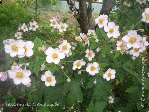 Приветствую  Вас , дорогие  гости  моей  странички,  дорогие  мои  подружки !   Что  дало  нам  это  лето ?  Конечно  же  ароматы  летних  цветов  и  любование  ими !    Я  с  удовольствием  делюсь  с  Вами  ! фото 11