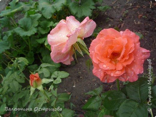 Приветствую  Вас , дорогие  гости  моей  странички,  дорогие  мои  подружки !   Что  дало  нам  это  лето ?  Конечно  же  ароматы  летних  цветов  и  любование  ими !    Я  с  удовольствием  делюсь  с  Вами  ! фото 15