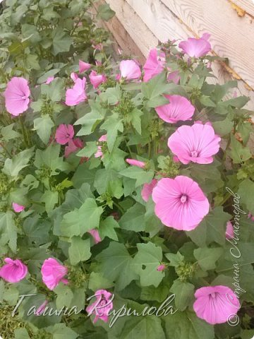 Добрый день ! Писать много не буду , просто загружу фото своих цветов . Петунья махровая. фото 2