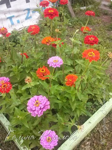 Добрый день ! Писать много не буду , просто загружу фото своих цветов . Петунья махровая. фото 3