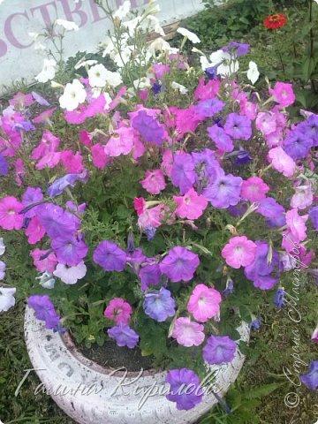 Добрый день ! Писать много не буду , просто загружу фото своих цветов . Петунья махровая. фото 4
