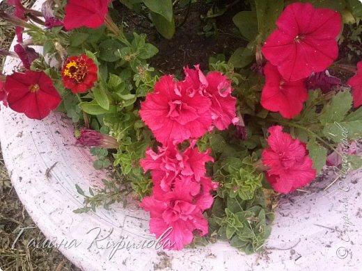 Добрый день ! Писать много не буду , просто загружу фото своих цветов . Петунья махровая. фото 6