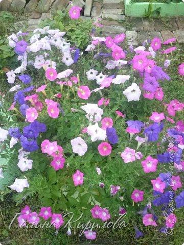 Добрый день ! Писать много не буду , просто загружу фото своих цветов . Петунья махровая. фото 9