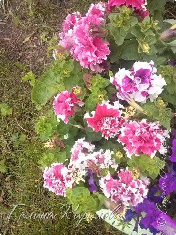 Добрый день ! Писать много не буду , просто загружу фото своих цветов . Петунья махровая. фото 1