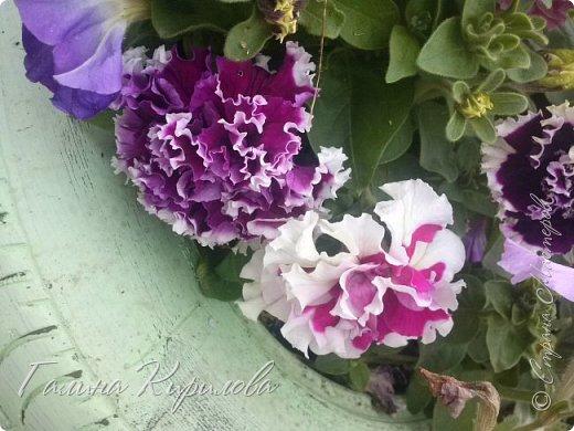 Добрый день ! Писать много не буду , просто загружу фото своих цветов . Петунья махровая. фото 11