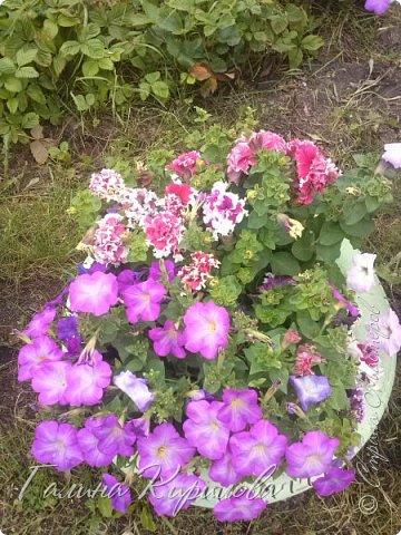 Добрый день ! Писать много не буду , просто загружу фото своих цветов . Петунья махровая. фото 12
