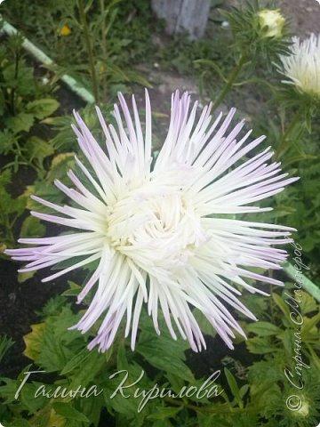 Добрый день ! Писать много не буду , просто загружу фото своих цветов . Петунья махровая. фото 21