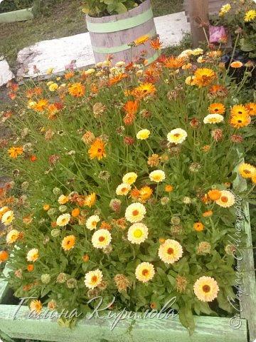 Добрый день ! Писать много не буду , просто загружу фото своих цветов . Петунья махровая. фото 26