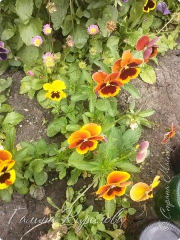 Добрый день ! Писать много не буду , просто загружу фото своих цветов . Петунья махровая. фото 28