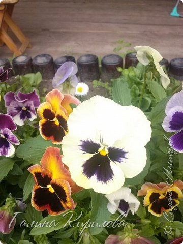 Добрый день ! Писать много не буду , просто загружу фото своих цветов . Петунья махровая. фото 32