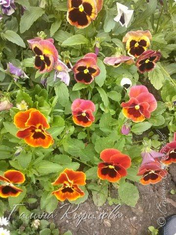 Добрый день ! Писать много не буду , просто загружу фото своих цветов . Петунья махровая. фото 33