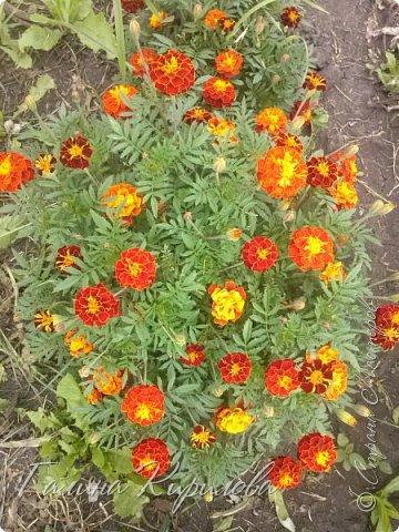 Добрый день ! Писать много не буду , просто загружу фото своих цветов . Петунья махровая. фото 35