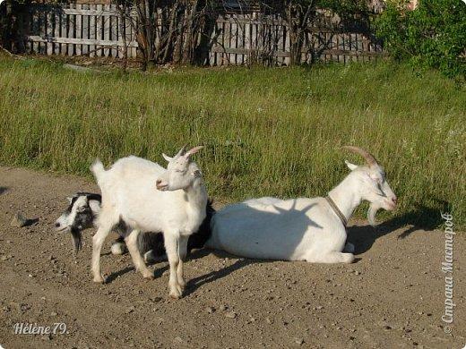 Тоненькие ножки, маленькие рожки. Кто это ребята? Это же козлята! Мама их ведет гулять, порезвиться, поиграть. свежей травки пощипать, с веток листья пожевать. Козочка рогатая - молочком богатая. Хоть коза невелика - даст отпор наверняка. Есть копыта и рога - Не боимся мы врага!  (Горенбургова Р.) фото 2
