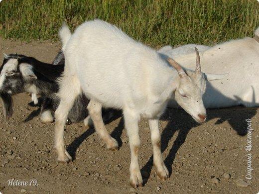 Тоненькие ножки, маленькие рожки. Кто это ребята? Это же козлята! Мама их ведет гулять, порезвиться, поиграть. свежей травки пощипать, с веток листья пожевать. Козочка рогатая - молочком богатая. Хоть коза невелика - даст отпор наверняка. Есть копыта и рога - Не боимся мы врага!  (Горенбургова Р.) фото 3