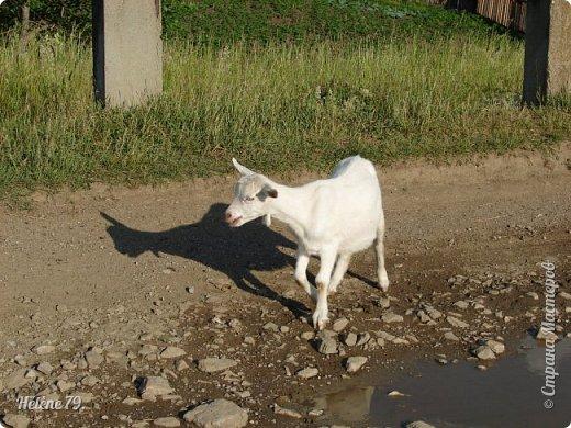 Тоненькие ножки, маленькие рожки. Кто это ребята? Это же козлята! Мама их ведет гулять, порезвиться, поиграть. свежей травки пощипать, с веток листья пожевать. Козочка рогатая - молочком богатая. Хоть коза невелика - даст отпор наверняка. Есть копыта и рога - Не боимся мы врага!  (Горенбургова Р.) фото 4