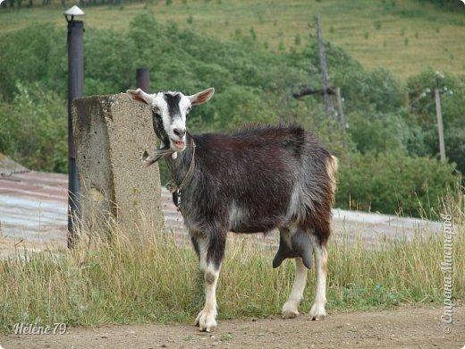 Тоненькие ножки, маленькие рожки. Кто это ребята? Это же козлята! Мама их ведет гулять, порезвиться, поиграть. свежей травки пощипать, с веток листья пожевать. Козочка рогатая - молочком богатая. Хоть коза невелика - даст отпор наверняка. Есть копыта и рога - Не боимся мы врага!  (Горенбургова Р.) фото 5