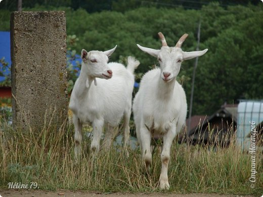 Тоненькие ножки, маленькие рожки. Кто это ребята? Это же козлята! Мама их ведет гулять, порезвиться, поиграть. свежей травки пощипать, с веток листья пожевать. Козочка рогатая - молочком богатая. Хоть коза невелика - даст отпор наверняка. Есть копыта и рога - Не боимся мы врага!  (Горенбургова Р.) фото 1