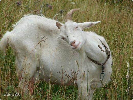 Тоненькие ножки, маленькие рожки. Кто это ребята? Это же козлята! Мама их ведет гулять, порезвиться, поиграть. свежей травки пощипать, с веток листья пожевать. Козочка рогатая - молочком богатая. Хоть коза невелика - даст отпор наверняка. Есть копыта и рога - Не боимся мы врага!  (Горенбургова Р.) фото 6