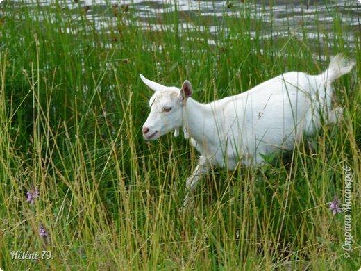 Тоненькие ножки, маленькие рожки. Кто это ребята? Это же козлята! Мама их ведет гулять, порезвиться, поиграть. свежей травки пощипать, с веток листья пожевать. Козочка рогатая - молочком богатая. Хоть коза невелика - даст отпор наверняка. Есть копыта и рога - Не боимся мы врага!  (Горенбургова Р.) фото 9