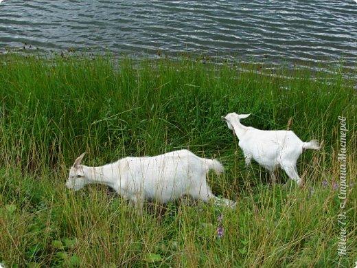 Тоненькие ножки, маленькие рожки. Кто это ребята? Это же козлята! Мама их ведет гулять, порезвиться, поиграть. свежей травки пощипать, с веток листья пожевать. Козочка рогатая - молочком богатая. Хоть коза невелика - даст отпор наверняка. Есть копыта и рога - Не боимся мы врага!  (Горенбургова Р.) фото 10