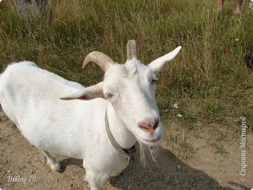 Тоненькие ножки, маленькие рожки. Кто это ребята? Это же козлята! Мама их ведет гулять, порезвиться, поиграть. свежей травки пощипать, с веток листья пожевать. Козочка рогатая - молочком богатая. Хоть коза невелика - даст отпор наверняка. Есть копыта и рога - Не боимся мы врага!  (Горенбургова Р.) фото 12